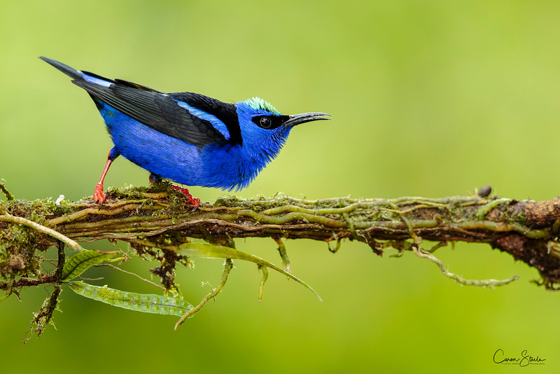 Red-legged Honey Creeper (Cyanerpes cyaneus)