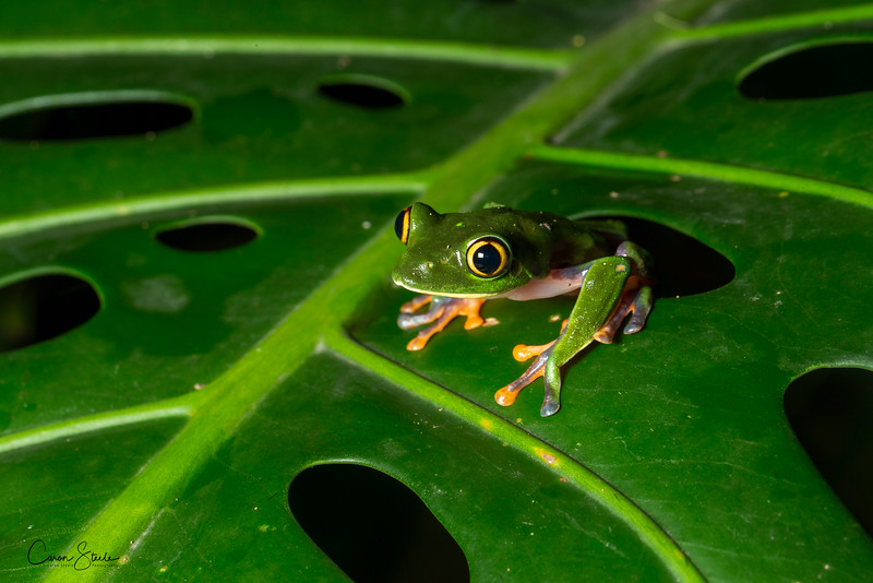 Yellow-eyed Leaf Frog (Agalychnis annae)