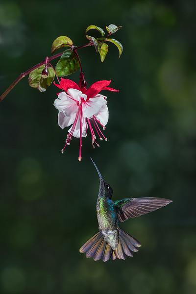 Magnificent Hummingbird (female)