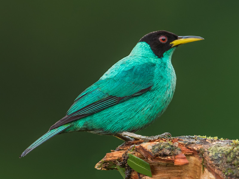 Green Honeycreeper (male)