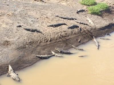 Huge crocodiles!