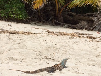 Iguana on the beach.