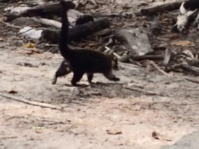 Coati running after invading a back pack looking for goodies.