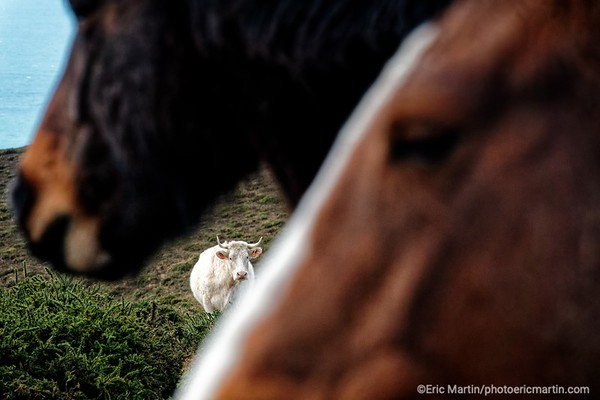FRANCE. COTENTIN. Vache et chevaux cob normand en liberté dans les landes de Vauville