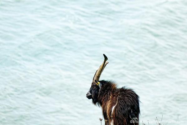 FRANCE. COTENTIN. Bouc des fossés élevé par Bruno Paysant – agriculteur, éleveur à Vauville. Il a recu la medaille de l'ordre agricole en  reconnaissance de son travail d'éleveur et de sa passion pour la préservation des races domestiques anciennes comme l'âne du Cotentin, l'âne de Normandie, différentes races bovines, le mouton roussin de la Hague, la chèvre des fossés, la poule cotentine, et, surtout, le cheval cob normand.
