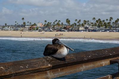 Pelican on Balboa Pier