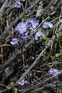 Flowers in Joshua Tree National Park