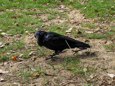 Bird - Australian Raven