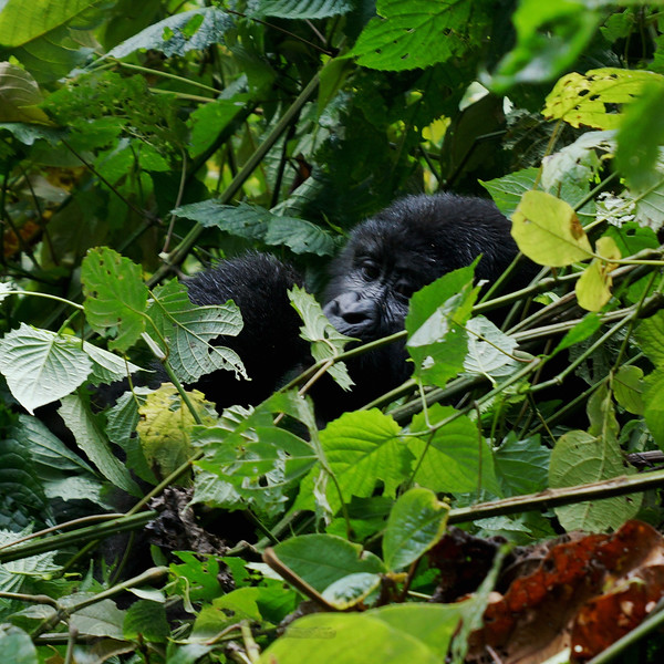 Bwindi Impenetrable Forest - Mountain Gorilla