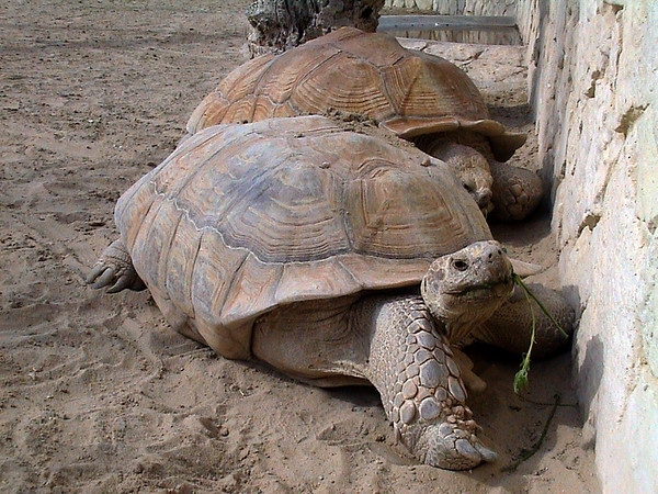 Bahrain - Manama Zoo - Giant Tortoiise