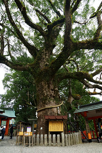 Kumano Nachi Taisha Sacred Camphor Tree