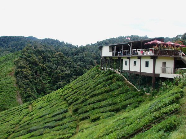 Cameron Highlands - Tea Plantation