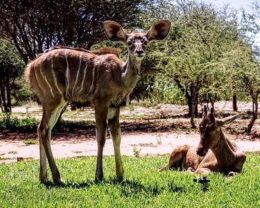 Kudu and Hartebeest Calves - Namibia