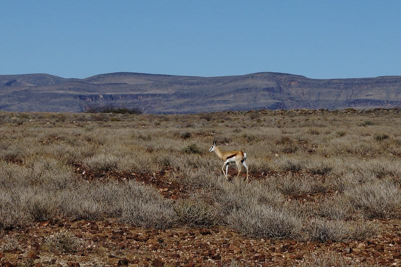 Gazelle - namibia