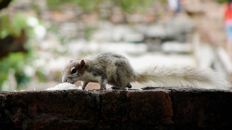 Variable Squirrel - Thailand