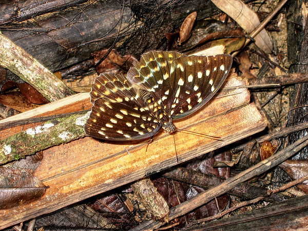 Black Tipped Archduke Butterfly in Thailand