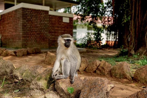 Vervet Monkey - UWEC