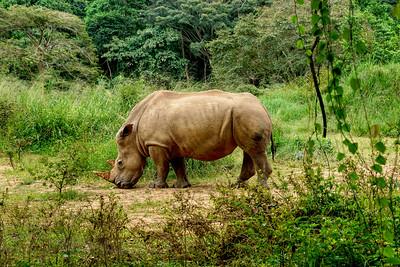 White Rhinoceros - UWEC