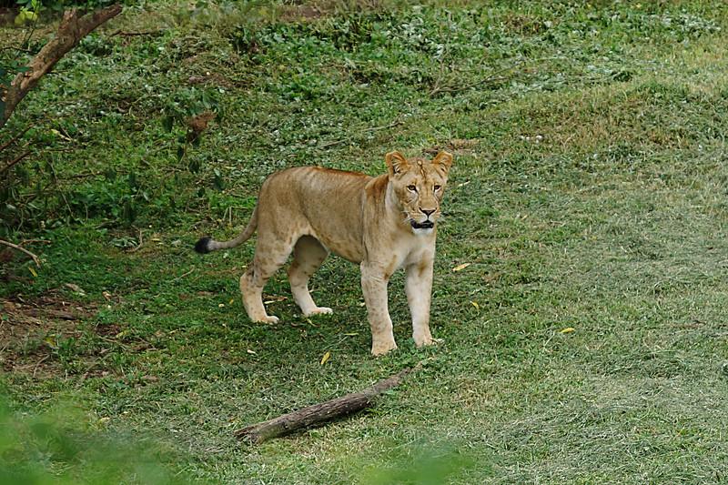 Lioness - UWEC