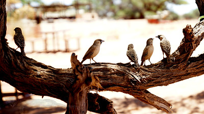 Sociable Weaver Birds