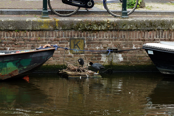 Coots Nesting in the Canal