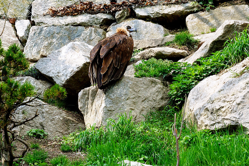 Bearded Vulture in Innsbruck Zoo