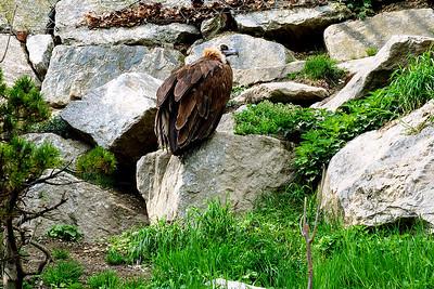 Bearded Vulture in Innsbruck Zoo