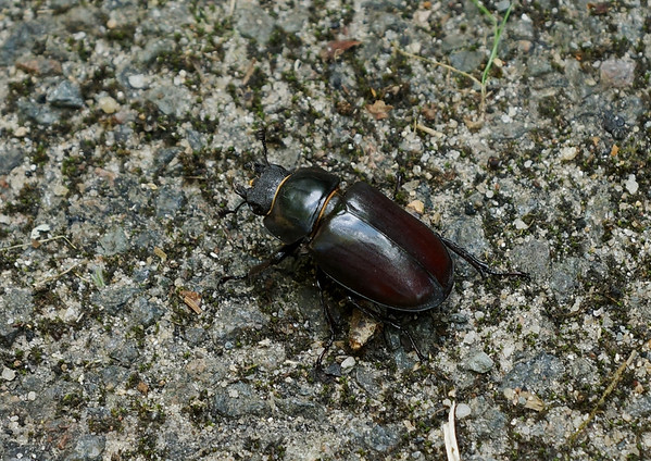 Beetle in France