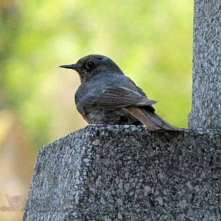 Bird - Wren TBV