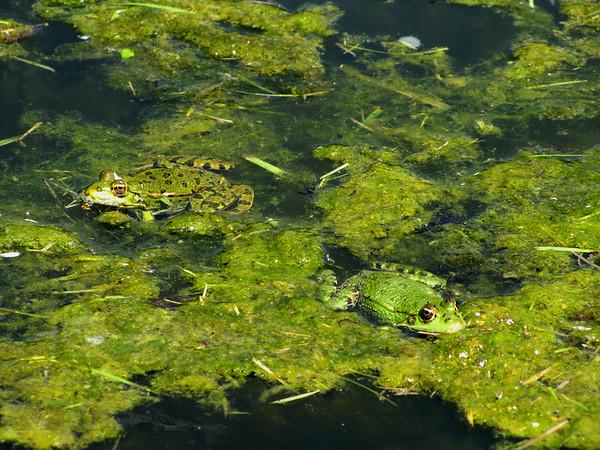 Frogs - Villasavary