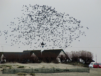 Birds Flocking at West Wittering