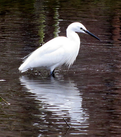 Egret - Egret at Chichester Harbour