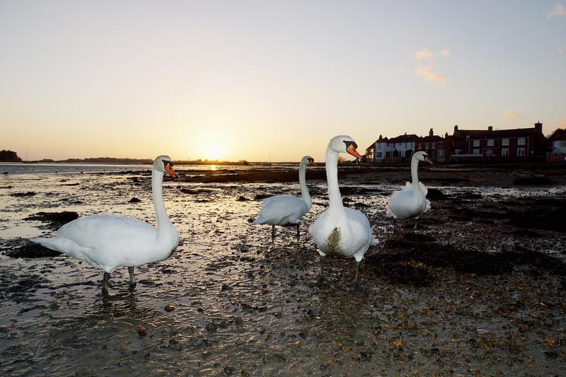 Swans at Bosham