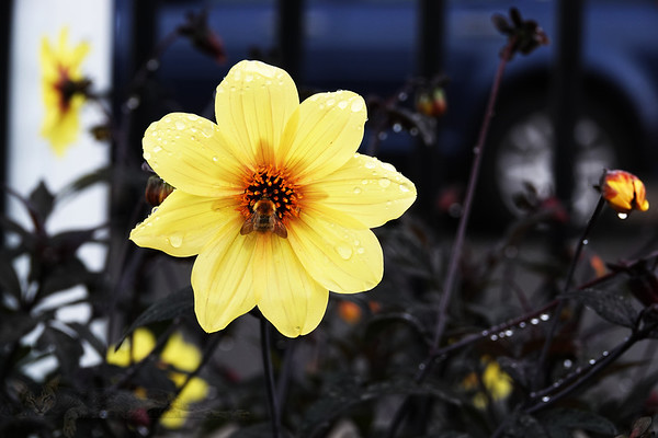 Yellow Dahlia and Bee