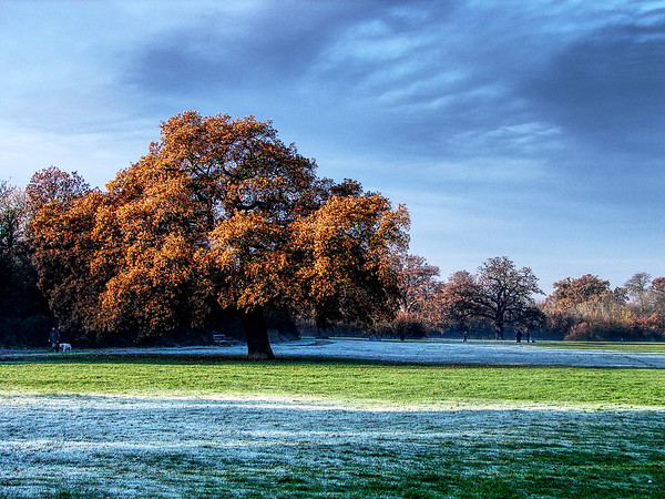 The BIG Oak Tree on Cannon Hill Common 2005