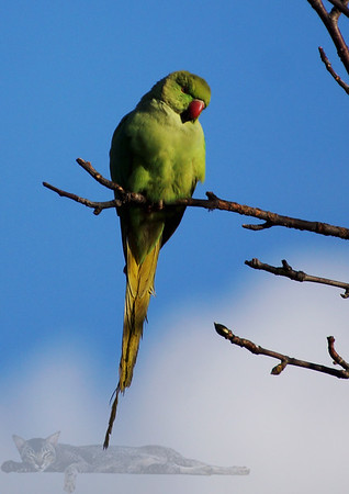 Parakeet near Cannon Hill Common