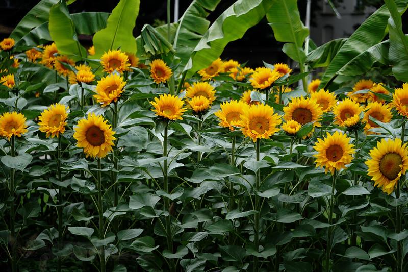 Victoria Embankment Gardens - Sunflowers