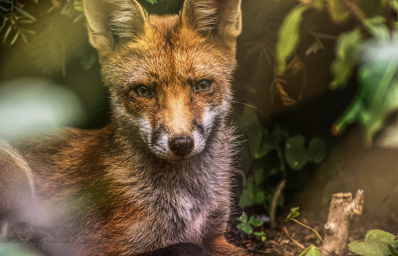 A Fox in the Bushes of Embankment Gardens