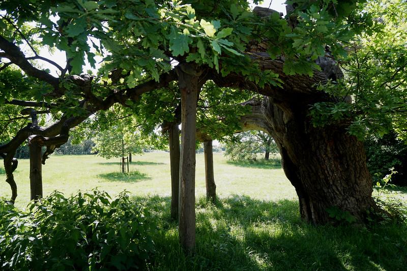 Cannon Hill Common - Oak Tree