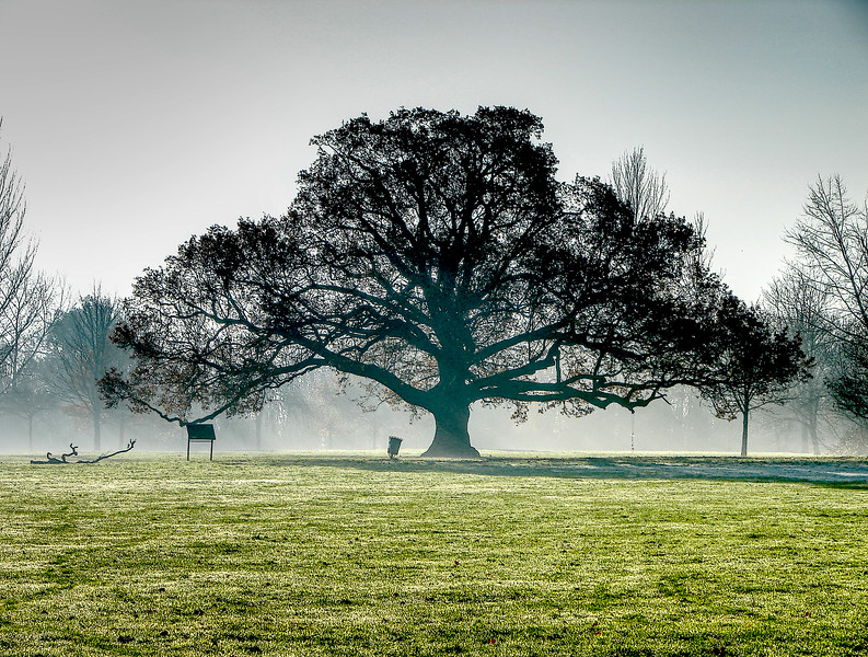 The BIG Tree on Cannon Hill Common
