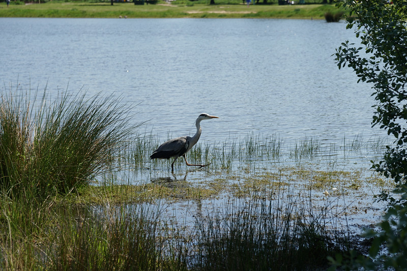 Heron on Rushmere