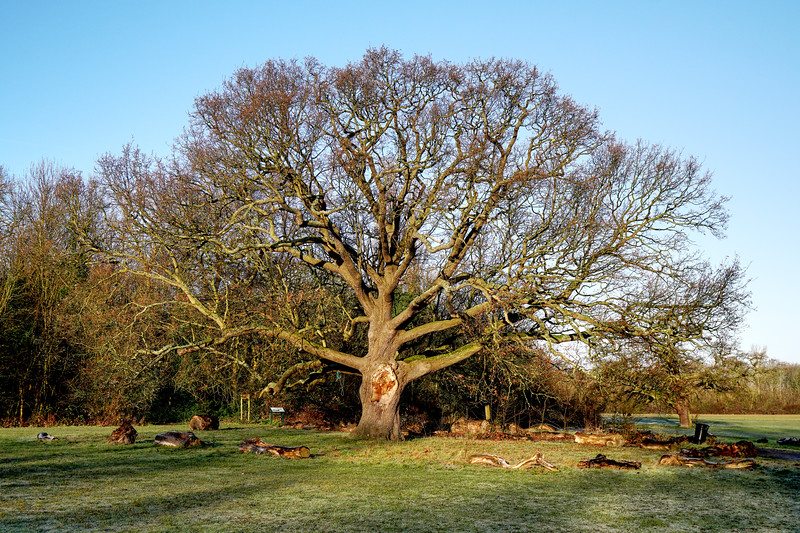The Big Oak tree on Cannon Hill Common in 2019