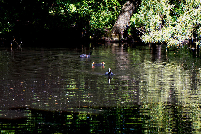 Coot and Birds on Cannon Hill Common Lake
