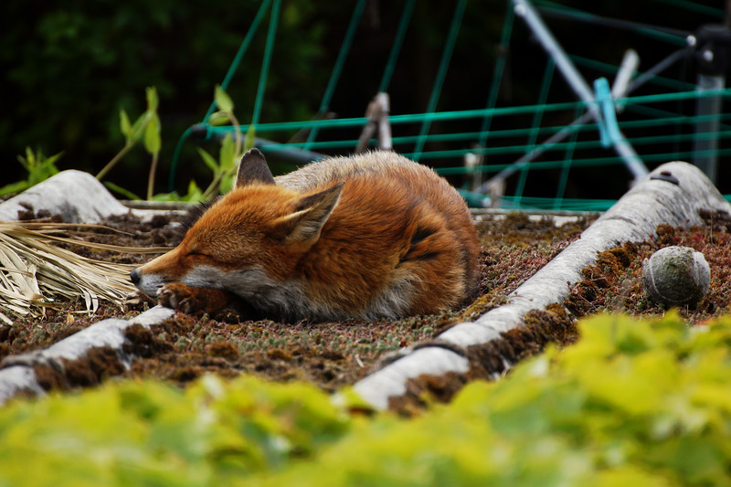 Fox on the Roof