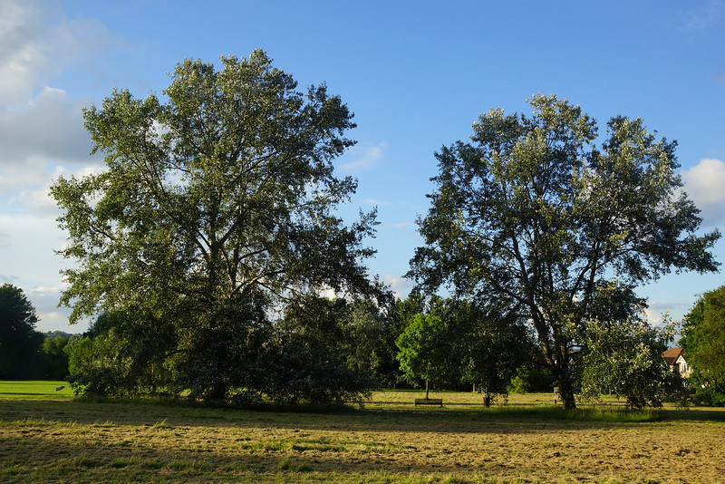Trees on Cannon Hill Common