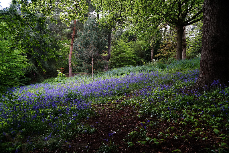 Cannizaro Park - Bluebell Glade
