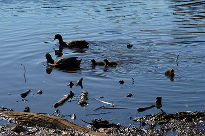Queensmere - Coots and Chicks