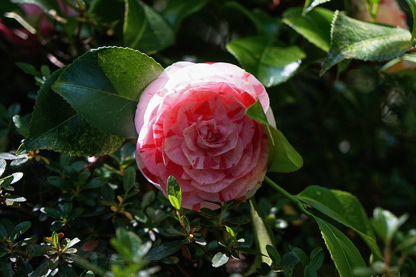 Cannizaro Park Flower