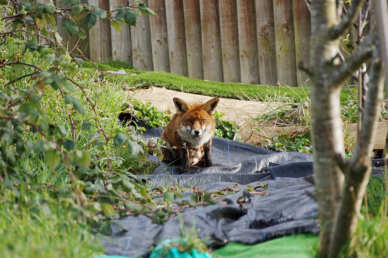 Red Fox in the Local Allotment - Morden