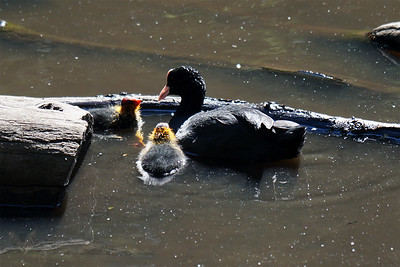 Queensmere - Coot and Chicks